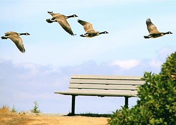 geese_park