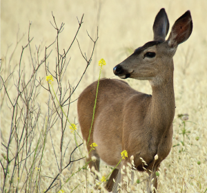 homepage_deer