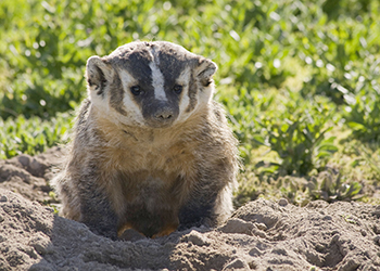 species_badger_img1