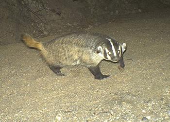 species_badger_img4