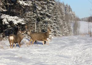 species_deer_img2