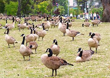 species_geese_img2