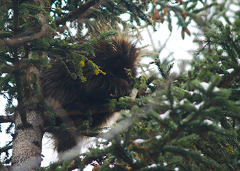Porcupine in a Tree